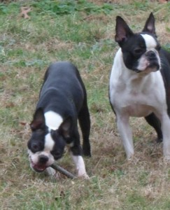 OUR DOGS | Best Boston Terrier Puppies