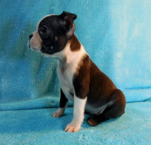2016 Available Puppies | Best Boston Terrier Puppies